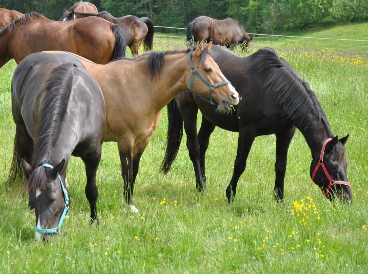 Pferde einstellen im Mühlviertel nahe Linz am Pferdehof Pammer in Gramastetten